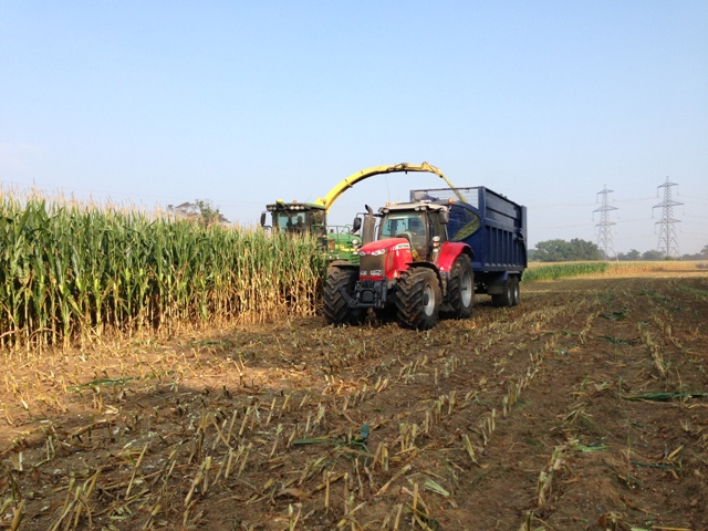 maize for web site