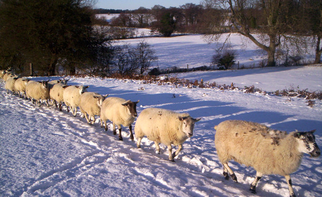 croft_farm_sheep_winter_sli